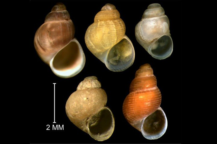 Snails with penises will help assess the Arctic pollution